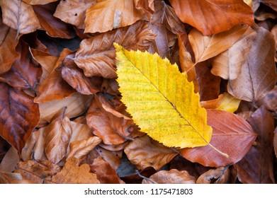 Autumnal leaf of a hornbeam plant (Carpinus betulus) on the ground
