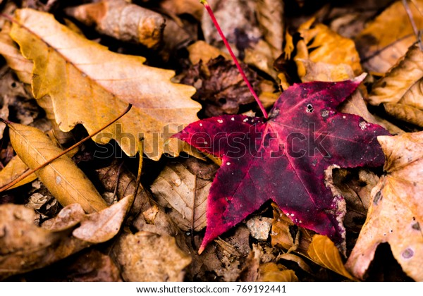 Autumnal Leaf Standing Out from the Crowd