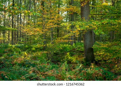 Autumnal leaves dress in the forest. Location: Germany, North Rhine-Westphalia, Hoxfeld.