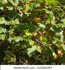 Autumnal Leaves of the English Oak Tree (Quecus robur) in a Park in Rural Devon, England, UK