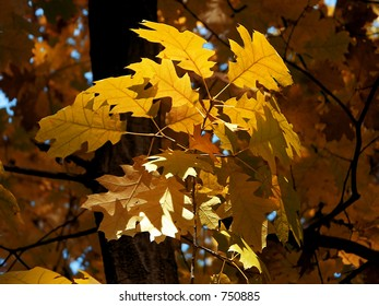 Autumnal leaves lightened by the golden light of the sun