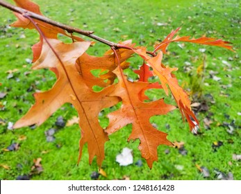 Autumnal leaves of  northern red or champion oak, Quercus rubra, growing in Galicia, Spain