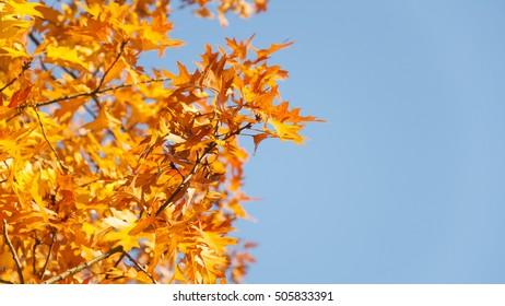 Autumnal leaves on light blue background