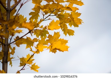 Autumnal leaves, red and yellow maple foliage againstsky, beautiful background, selective focus