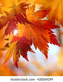 Autumnal maple leaves in blurred background, autumn, maple leaf, maple tree, autumn wallpaper
