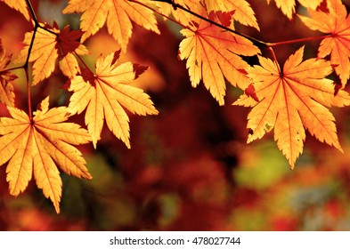 Autumnal maple leaves, fall scene