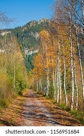 autumnal path along birch trees in autumn colors, weidmoos ettal, upper bavaria