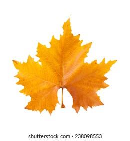 autumnal plane tree leaf isolatad on white
