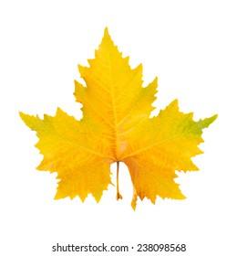 autumnal plane tree leaf isolated  on white