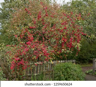 Autumnal Red Fruit on a Crab Apple Tree (Malus x robusta 'Red Sentinel') in a Country Cottage Garden in Rural Devon, England, UK
