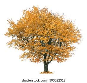 Autumnal tree, isolated on white