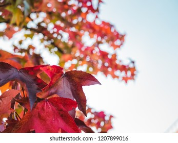 Autumnal tree with red leaves against blue sky with small clouds