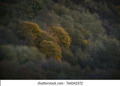 Autumnal trees lit by sun with surrounding trees with no colour left on them and are devoid of leaves.