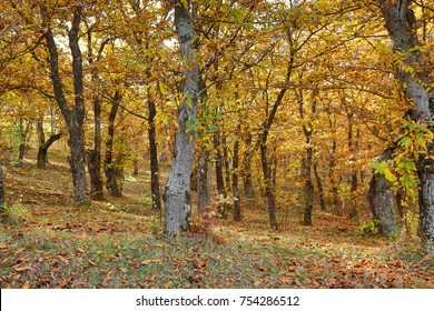 Autumnal view of a chestnut forest in Italy. Hdr image