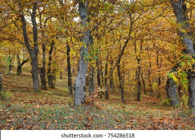 Autumnal view of a chestnut forest in Italy