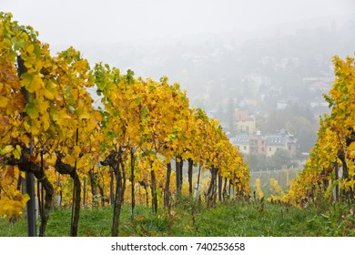 Autumnal vineyard landscape in Vienna, Austria. Yellow colored leaves of grapevine in fall season with foggy weather. Suburban cityscape in the background.