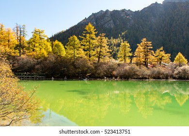 Autumn/Gold pine and Mountain reflection in lake/ Yading National Park/ Sichuan/ China/ Asia