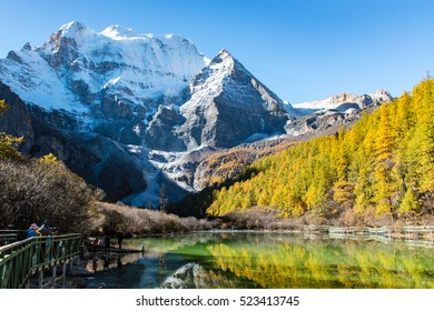 Autumn/Gold pine and Snow Mountain reflection in lake/ Yading National Park/ Sichuan/ China/ Asia
