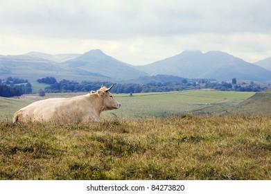Auvergne volcanoes and aubrac cow landscape, Puy de Dome, Auvergne. France