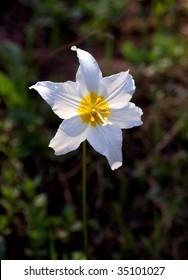 Avalanche Lily in Mount Rainier National Park in Washington State, USA