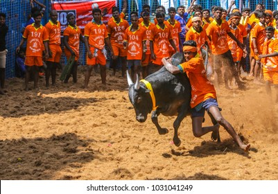 AVANYABURAM,INDIA- January 14, 2018 : Competitors taking part in the bull taming sport of jallikattu on January 14, 2018 in AVANYABURAM ,Tamil Nadu, India.Union Government grant permission 2017