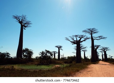 Avenue or Alley of the Baobabs, Morondava - Madagascar
