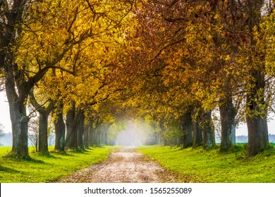 Avenue of Ash Trees in Autumn
