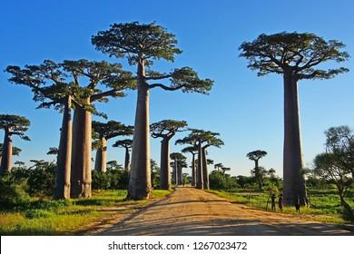 The Avenue of Baobab in Madagascar