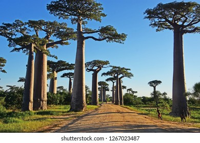 The Avenue of Baobab in Madagascar
