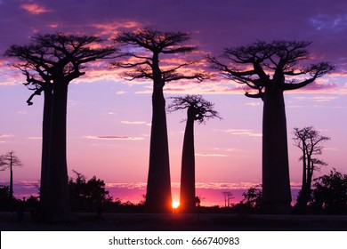 Avenue of baobabs,  magenta and purple  sunset , Madagascar