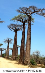 """""""Avenue of the Baobabs"""", a red dirt road between lines of baobab trees, under a clear blue sky near Morondova, Madagascar"""