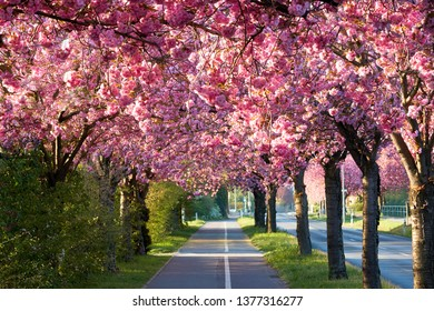 Avenue of blooming cherry trees in spring in downtown Magdeburg in Germany