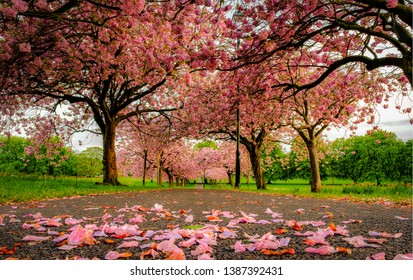 An Avenue of Cherry Blossom Trees in a Park, Harrogate, North Yorkshire