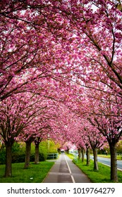 avenue of cherry trees in pink