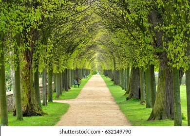 Avenue of Linden Trees, Tree Lined Footpath through Park in Spring