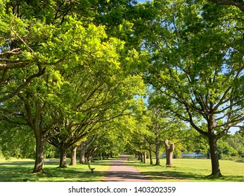 Avenue of oak trees on233, a public park in the city. Beautiful summer day with blue sky.