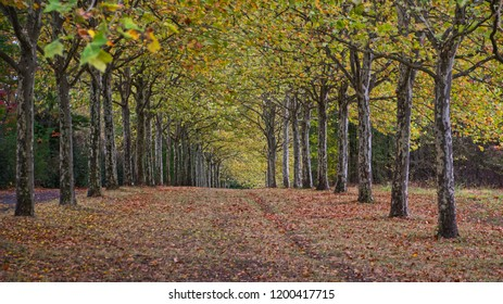 An avenue of plain trees