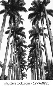 Avenue of tall royal palm trees at the Jardim Botanico botanic gardens Rio de Janeiro Brazil in dramatic black and white