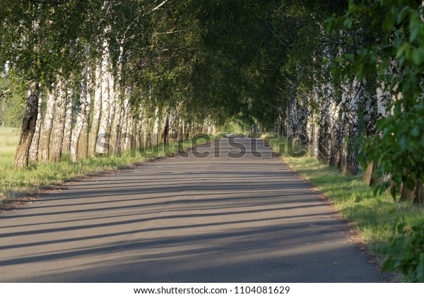 Avenue with young birch trees on summer. Summer landscape. Birch Alley. Green woods in summer.