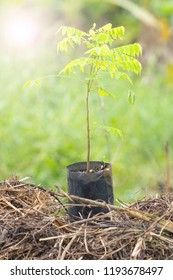 Averrhoa bilimbi tree OXALIDACEAE family in a black plastic bag