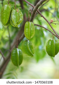 Averrhoa carambola, Carambola Star fruit on branch tree in nature The trunk and branches are softwoods The native varieties are sour, with large balls and small balls.