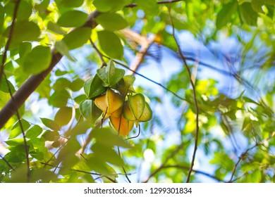 Averrhoa carambola (carambola or starfruit) - a species of tree in the family Oxalidaceae