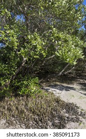 Avicennia germinans black mangrove tree with network of snorkel roots rising above mud at low tide on Tierra Verde island on Florida's gulf coast