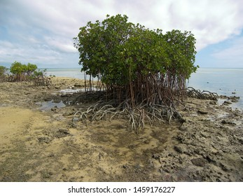 The avicennia marina has usally long roots. This plant is born in Tonga, on the beach.