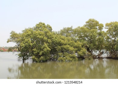 Avicennia trees in mangrove swamp at the tide. Nerul River, Nothern Goa, India.