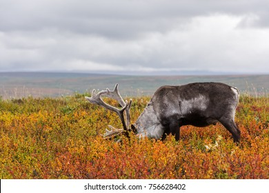 Avka is a general name for domesticated reindeer. Herd of reindeer grazes in the tundra nearby of polar circle.