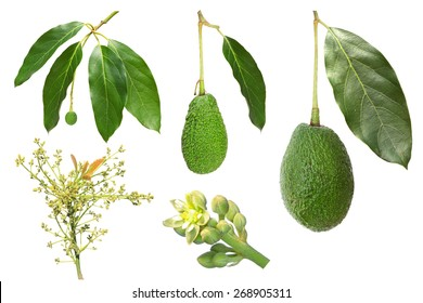 Avocado development stages isolated on a white background (flower, inflorescence, fruit)