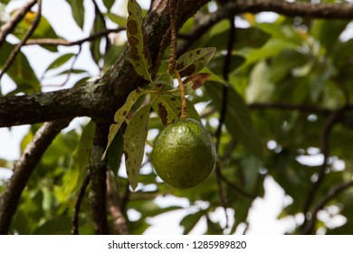 An avocado fruit hanging from a branch in a tree.