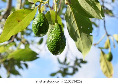 avocado fruit hanging from a leafy tree against a blue sky and white clouds, green colors, fresh