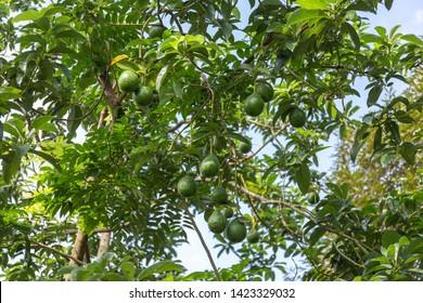 The avocado fruit on the avocado tree